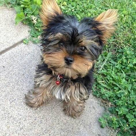 Awesome yorkie baby ready for a loving home.